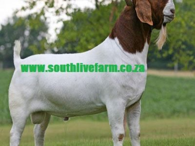 Boer Goat /Cattle Checkens /Eggs